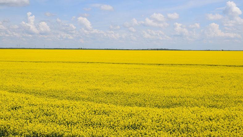 La colza se postula para esta campaña como uno de los cultivos de éxito en Castilla y León