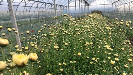 Hundimiento de la exportación de flores y plantas en marzo con una caída del 23% a causa de la Covid-19