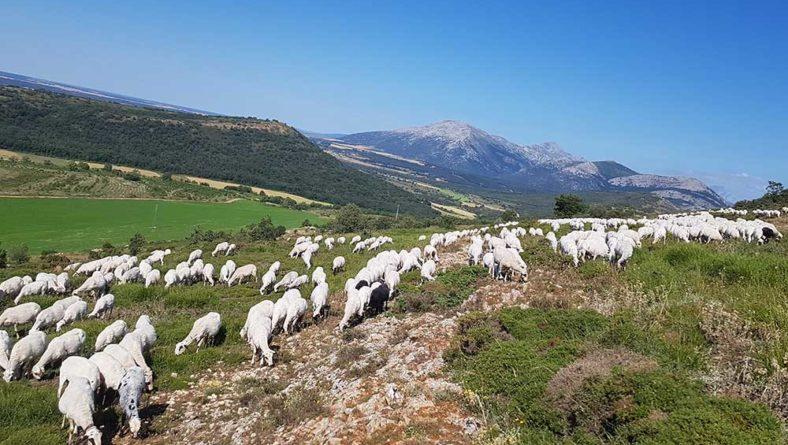 Carnero propone un plan nacional para recuperar la importancia del ovino