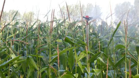 El maíz se postula también como triunfador para esta campaña