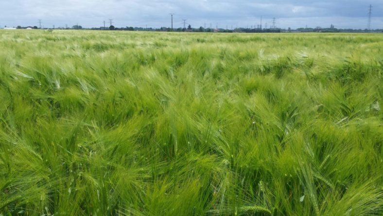 Los cereales bajan minimamente en las lonjas de la región que no muestran cambios notables en el resto de cultivos