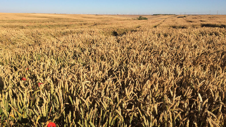 La buenas variedades de trigo y cebada se acercan a su máximo potencial en Castilla y León
