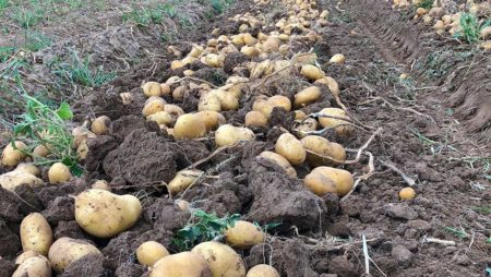 La cotización de la patata sigue cayendo en la Lonja de Segovia y la zanahoria baja también
