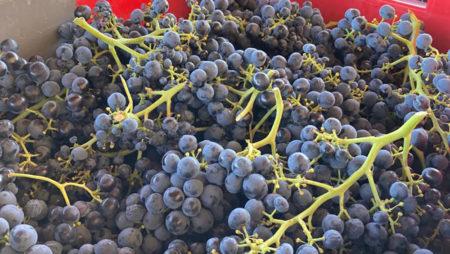 La vendimia 2020 en la DO Toro alcanza los 20,6 millones de kilos de uva