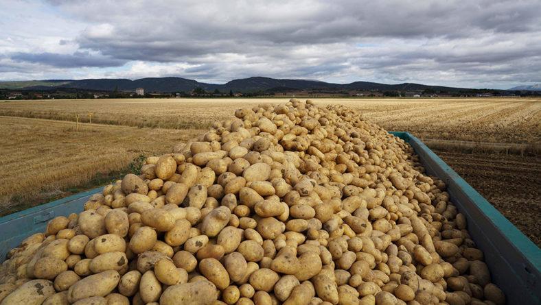 El Comité de patata de Fepex prevé un descenso de la superficie del 5-10% en temprana y del 20% para media estación o tardía