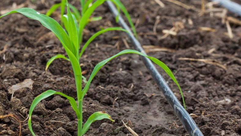 Ensayos de maíz, toda la información necesaria para elegir la mejor variedad