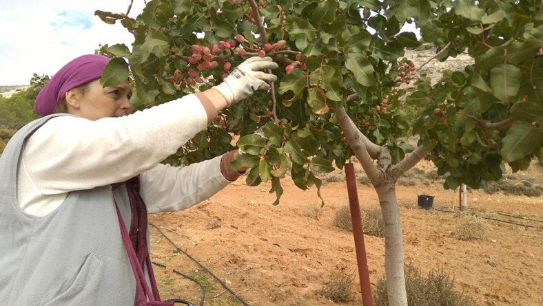 Itacyl sigue trabajando en la investigación del pistacho, en sus aspectos agronómicos, saludables y de bioeconomía