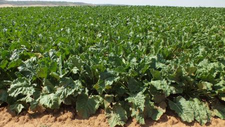 Los modelos de integración en el cultivo de la remolacha con Azucarera: garantía de rentabilidad con una inversión mínima