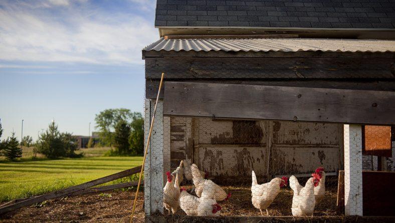 CECOGA  asesora: ¿Limpiamos el gallinero?