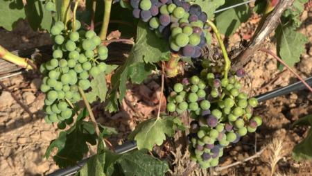 El envero de la vid, el momento más mágico del viñedo