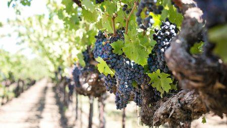 ¿Sabes cómo afecta la lluvia al viñedo?